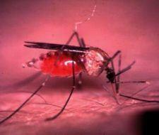Creación de mosquitos genéticamente alterados… ¿una nueva forma de lucha contra la malaria?
