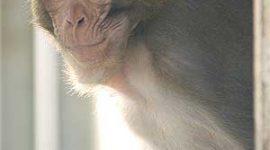 Genoma del Macaco Rhesus