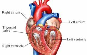 Generan válvulas cardíacas a partir de células madre