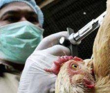 Otra vez la gripe aviar