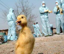 La gripe aviar se cobra una nueva víctima en Indonesia