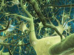 Desarrollan nueva técnica de tinción de células neuronales