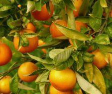 Cáscara de mandarina ayudaría a combatir el cáncer