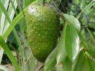 Guanábana, ayuda a eliminar células cancerígenas