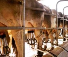 La clonación de vacas permitiría generar nuevos medicamentos
