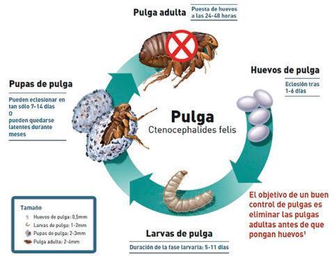 Picaduras de pulgas s ntomas y tratamiento blogmedicina - Como eliminar las pulgas de casa remedio casero ...
