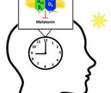 Reducir la grasa en el hígado, gracias a la melatonina