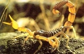 Crean fármaco antitumoral con veneno de escorpión