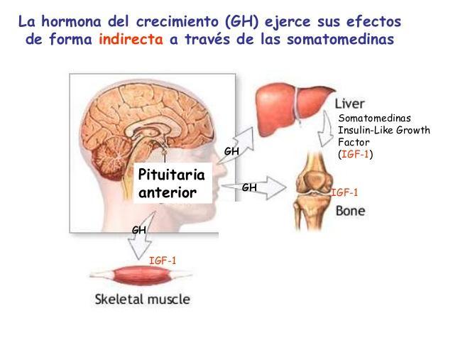 hormonas-de-crecimiento-somatomedinas-4-728