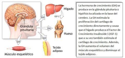 hormonas-de-crecimiento-somatomedinas-glandula