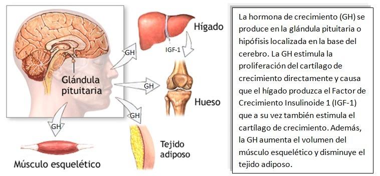 Hormonas de Crecimiento: Somatomedinas - BlogMedicina